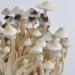 Albino A+ psilocybe cubensis mushroom flush