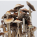 Burma psilocybe cubensis mature mushrooms
