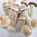 Penis Envy psilocybe cubensis mushrooms