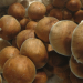 Mckennaii psilocybe cubensis mushrooms caps