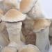 Penis Envy psilocybe cubensis matured mushrooms