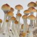 PES Amazonian psilocybe cubensis mushrooms