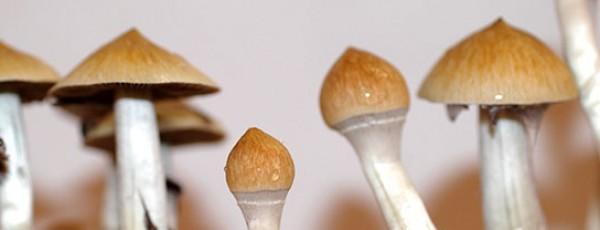 Photos of Cambodian psilocybe cubensis mushroom strain